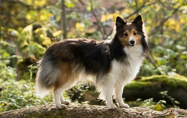 Шелти-собака-Описание-особенности-виды-уход-содержание-и-цена-породы-шелти-1