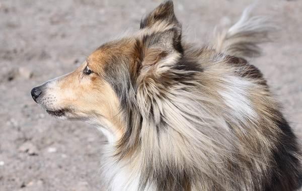 Шелти-собака-Описание-особенности-виды-уход-содержание-и-цена-породы-шелти-10