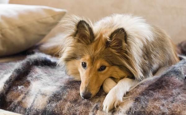 Шелти-собака-Описание-особенности-виды-уход-содержание-и-цена-породы-шелти-11