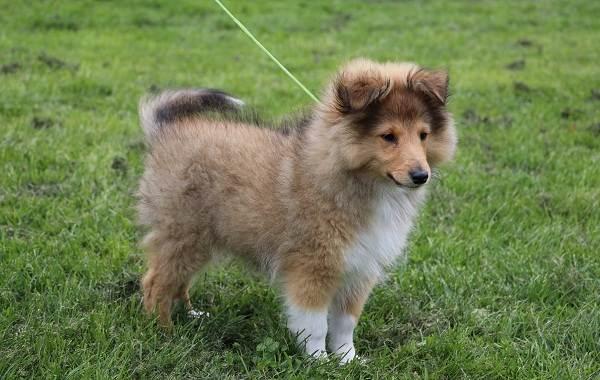 Шелти-собака-Описание-особенности-виды-уход-содержание-и-цена-породы-шелти-12