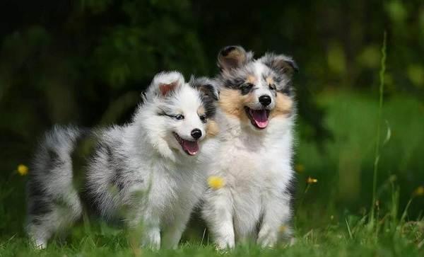 Шелти-собака-Описание-особенности-виды-уход-содержание-и-цена-породы-шелти-13