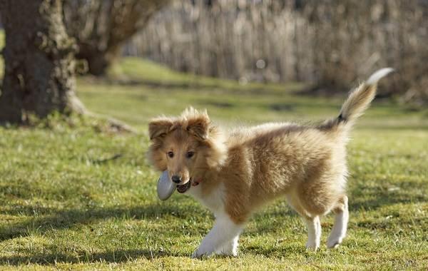 Шелти-собака-Описание-особенности-виды-уход-содержание-и-цена-породы-шелти-14