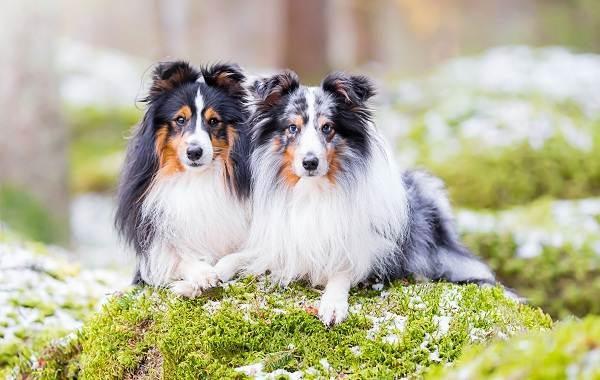 Шелти-собака-Описание-особенности-виды-уход-содержание-и-цена-породы-шелти-2