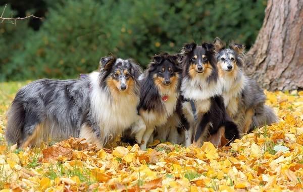 Шелти-собака-Описание-особенности-виды-уход-содержание-и-цена-породы-шелти-3