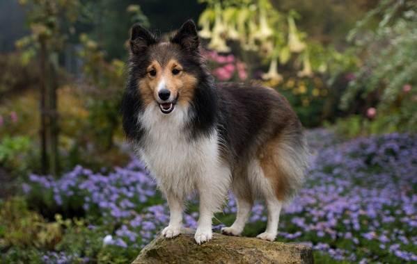 Шелти-собака-Описание-особенности-виды-уход-содержание-и-цена-породы-шелти-4