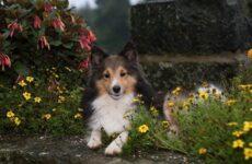 Шелти собака. Описание, особенности, виды, уход, содержание и цена породы шелти