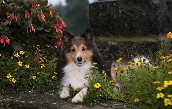 Шелти-собака-Описание-особенности-виды-уход-содержание-и-цена-породы-шелти-5