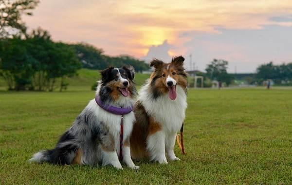 Шелти-собака-Описание-особенности-виды-уход-содержание-и-цена-породы-шелти-6
