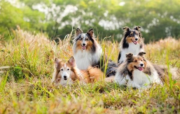 Шелти-собака-Описание-особенности-виды-уход-содержание-и-цена-породы-шелти-7