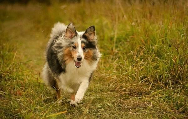 Шелти-собака-Описание-особенности-виды-уход-содержание-и-цена-породы-шелти-8