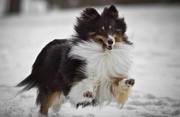 Шелти-собака-Описание-особенности-виды-уход-содержание-и-цена-породы-шелти-9