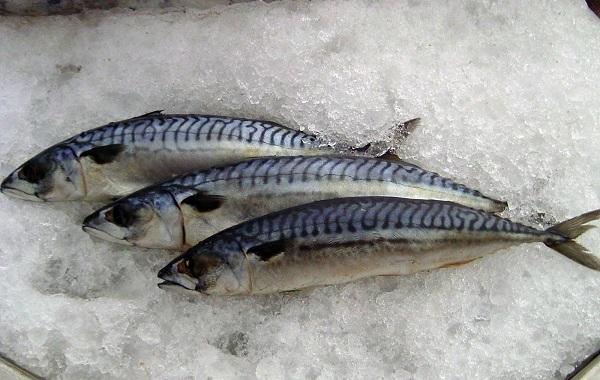 Скумбрия-рыба-Описание-особенности-виды-образ-жизни-и-среда-обитания-скумбрии-10