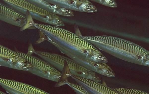 Скумбрия-рыба-Описание-особенности-виды-образ-жизни-и-среда-обитания-скумбрии-2