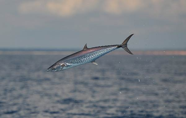 Скумбрия-рыба-Описание-особенности-виды-образ-жизни-и-среда-обитания-скумбрии-4