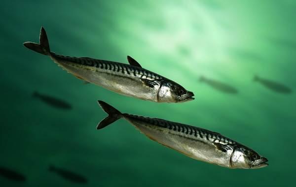 Скумбрия-рыба-Описание-особенности-виды-образ-жизни-и-среда-обитания-скумбрии-5
