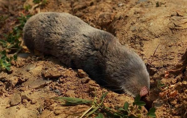 Слепыш-животное-Описание-особенности-виды-образ-жизни-и-среда-обитания-слепыша-13