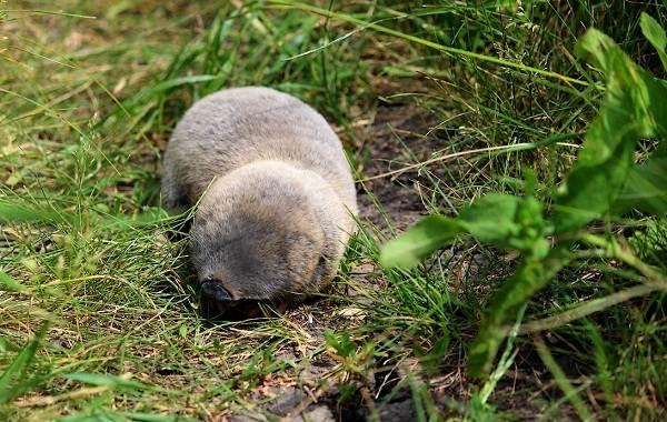 Слепыш-животное-Описание-особенности-виды-образ-жизни-и-среда-обитания-слепыша-8