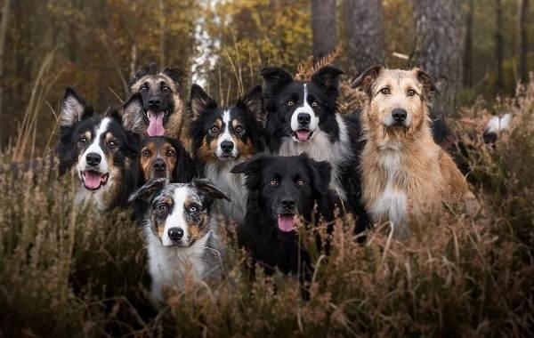 Средние-породы-собак-их-особенности-виды-названия-и-фото-1
