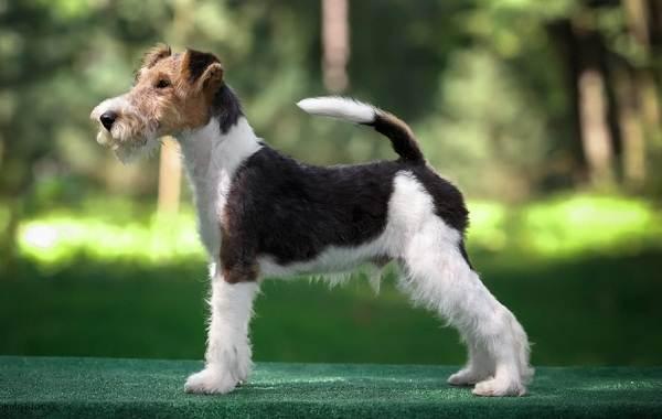 Средние-породы-собак-их-особенности-виды-названия-и-фото-12