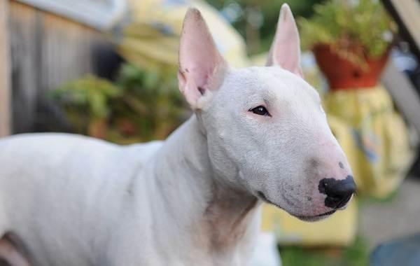 Средние-породы-собак-их-особенности-виды-названия-и-фото-14