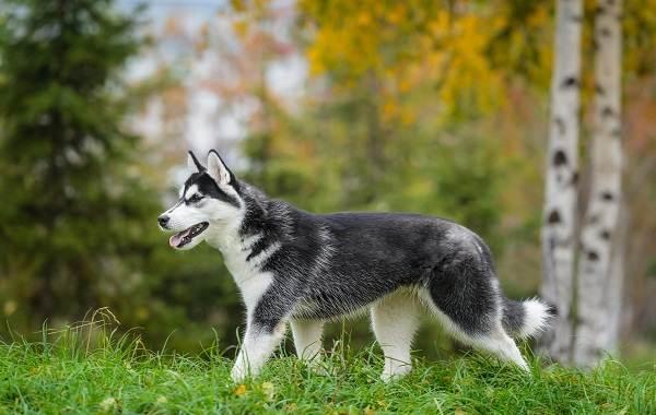 Средние-породы-собак-их-особенности-виды-названия-и-фото-24