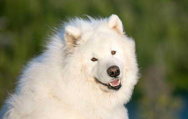 Средние-породы-собак-их-особенности-виды-названия-и-фото-26
