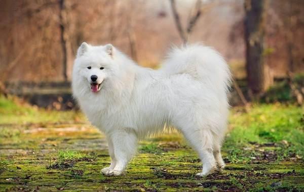 Средние-породы-собак-их-особенности-виды-названия-и-фото-27