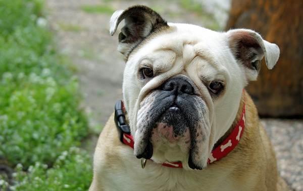 Средние-породы-собак-их-особенности-виды-названия-и-фото-30