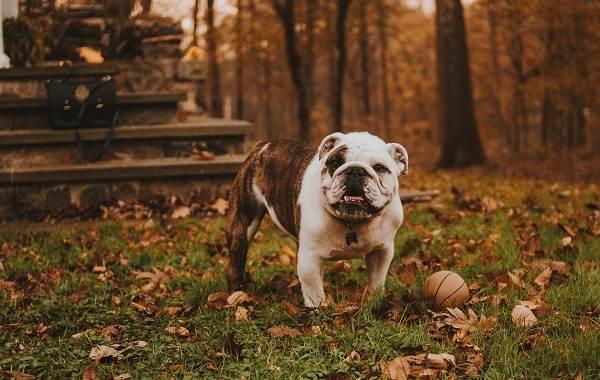 Средние-породы-собак-их-особенности-виды-названия-и-фото-31