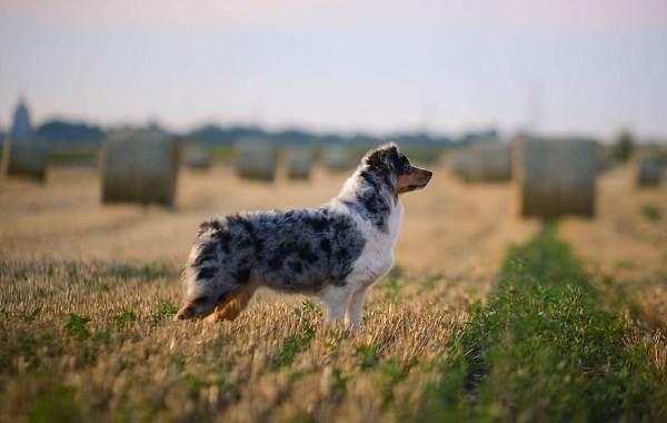 Средние-породы-собак-их-особенности-виды-названия-и-фото-33