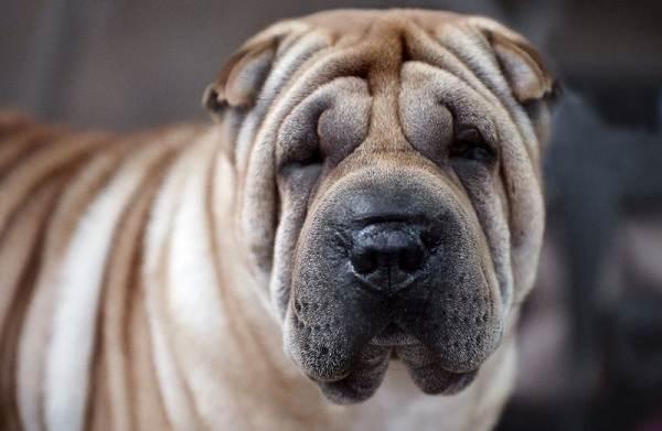 Средние-породы-собак-их-особенности-виды-названия-и-фото-34