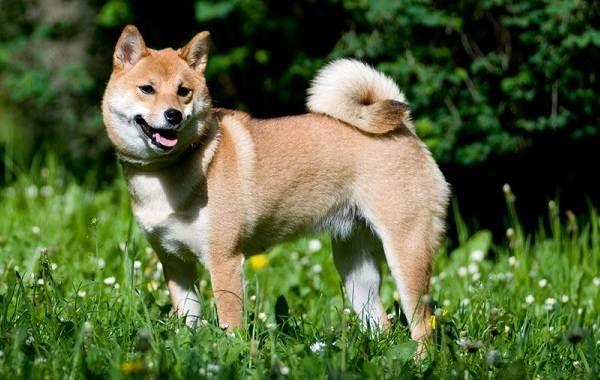 Средние-породы-собак-их-особенности-виды-названия-и-фото-8