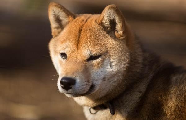 Средние-породы-собак-их-особенности-виды-названия-и-фото-9