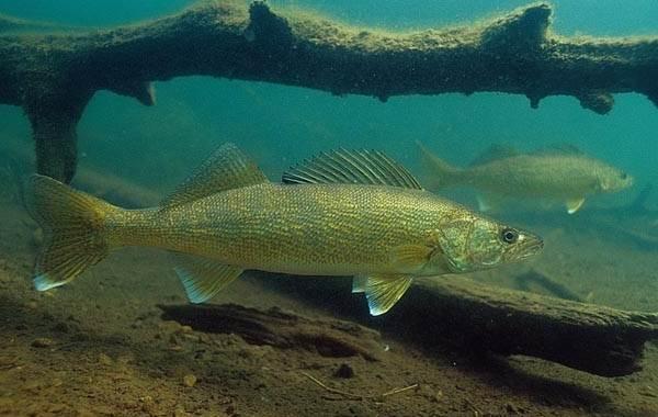 Судак-рыба-Описание-особенности-виды-образ-жизни-и-среда-обитания-судака-11