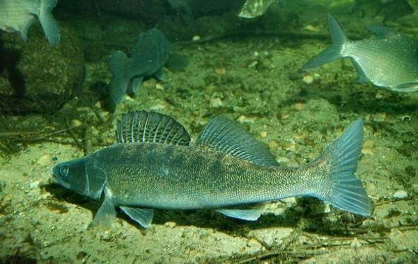Судак-рыба-Описание-особенности-виды-образ-жизни-и-среда-обитания-судака-12