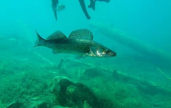 Судак-рыба-Описание-особенности-виды-образ-жизни-и-среда-обитания-судака-13