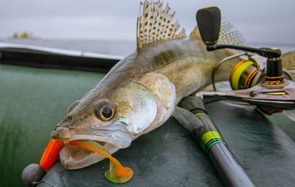 Судак-рыба-Описание-особенности-виды-образ-жизни-и-среда-обитания-судака-16