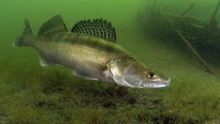 Судак рыба. Описание, особенности, виды, образ жизни и среда обитания судака