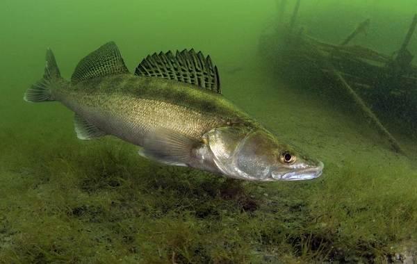 Судак-рыба-Описание-особенности-виды-образ-жизни-и-среда-обитания-судака-2