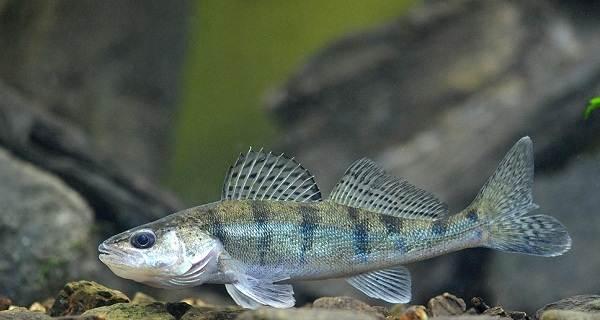 Судак-рыба-Описание-особенности-виды-образ-жизни-и-среда-обитания-судака-4