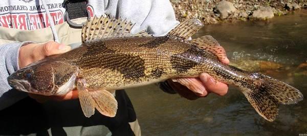 Судак-рыба-Описание-особенности-виды-образ-жизни-и-среда-обитания-судака-6