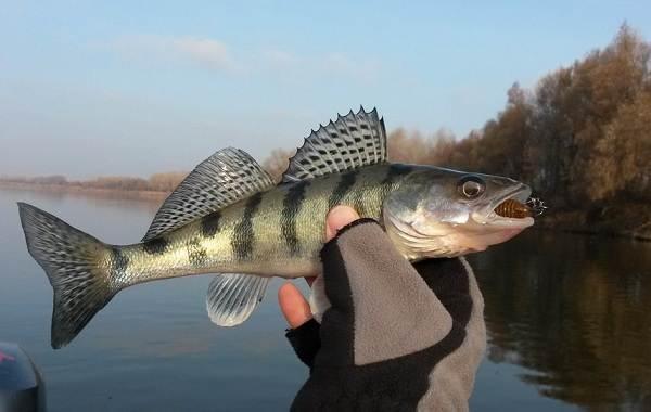 Судак-рыба-Описание-особенности-виды-образ-жизни-и-среда-обитания-судака-8