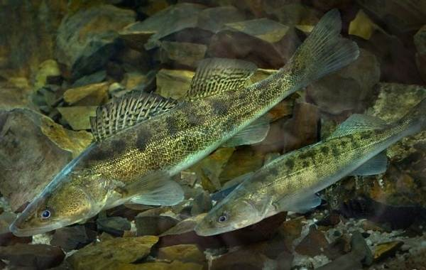 Судак-рыба-Описание-особенности-виды-образ-жизни-и-среда-обитания-судака-9