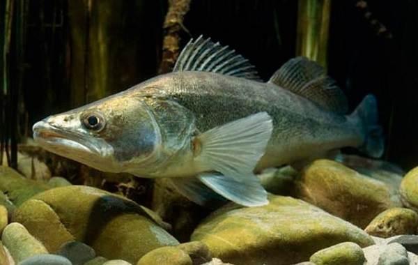 Судак-рыба-Описание-особенности-виды-образ-жизни-и-среда-обитания-судака