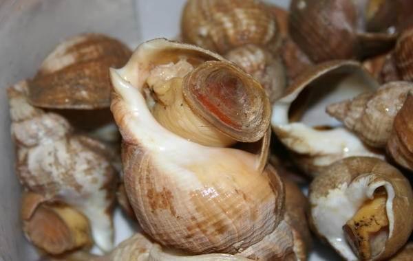 Трубач-моллюск-Описание-особенности-виды-образ-жизни-и-среда-обитания-трубача-1
