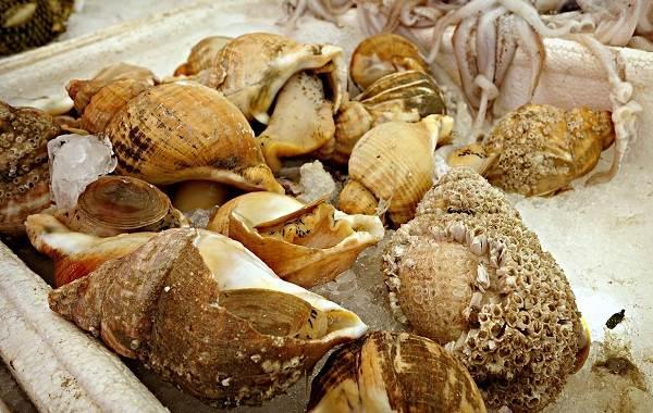 Трубач-моллюск-Описание-особенности-виды-образ-жизни-и-среда-обитания-трубача-2