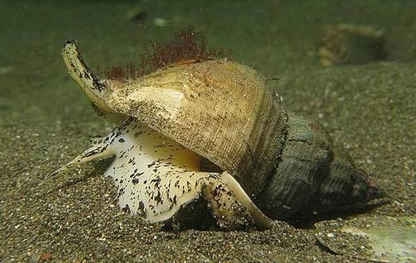 Трубач-моллюск-Описание-особенности-виды-образ-жизни-и-среда-обитания-трубача-3