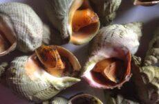 Трубач моллюск. Описание, особенности, виды, образ жизни и среда обитания трубача