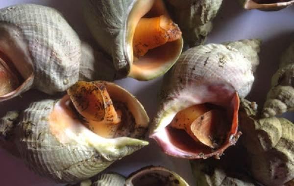 Трубач-моллюск-Описание-особенности-виды-образ-жизни-и-среда-обитания-трубача-5
