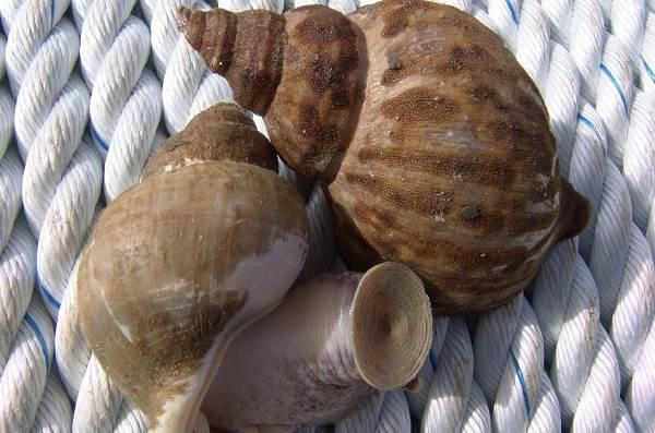 Трубач-моллюск-Описание-особенности-виды-образ-жизни-и-среда-обитания-трубача-6